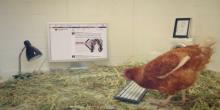 chickentweet#:هل ستنجح الدجاجة في التغريد بكلمتها الأولى