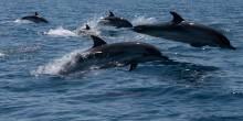 دلافين ضخمة في المياه الإقليمية لشواطئ خورفكان