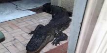بالفيديو: تمساح ضخم يهجم على منزل عائلة بفلوريدا