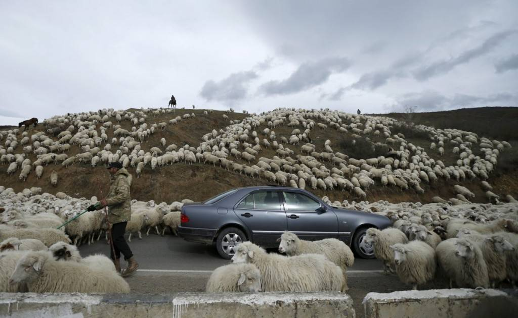 a-car-is-surrounded-by-sheep-as-they-return-home-from-grazing-fields-outside-tbilisi-georgia-1024x630