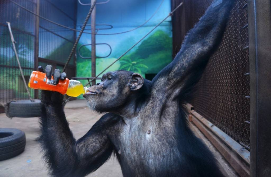 a-chimpanzee-cools-off-with-a-drink-in-shenyang-china-1024x671