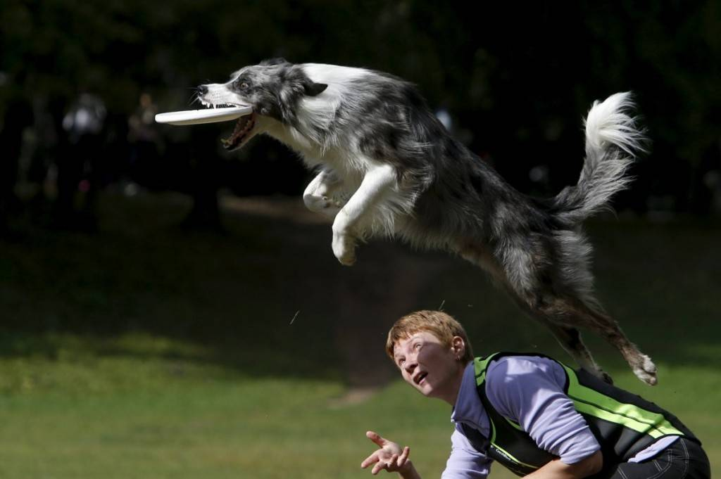 a-dog-catches-a-frisbee-during-a-dog-frisbee-competition-in-moscow-russia-1024x681