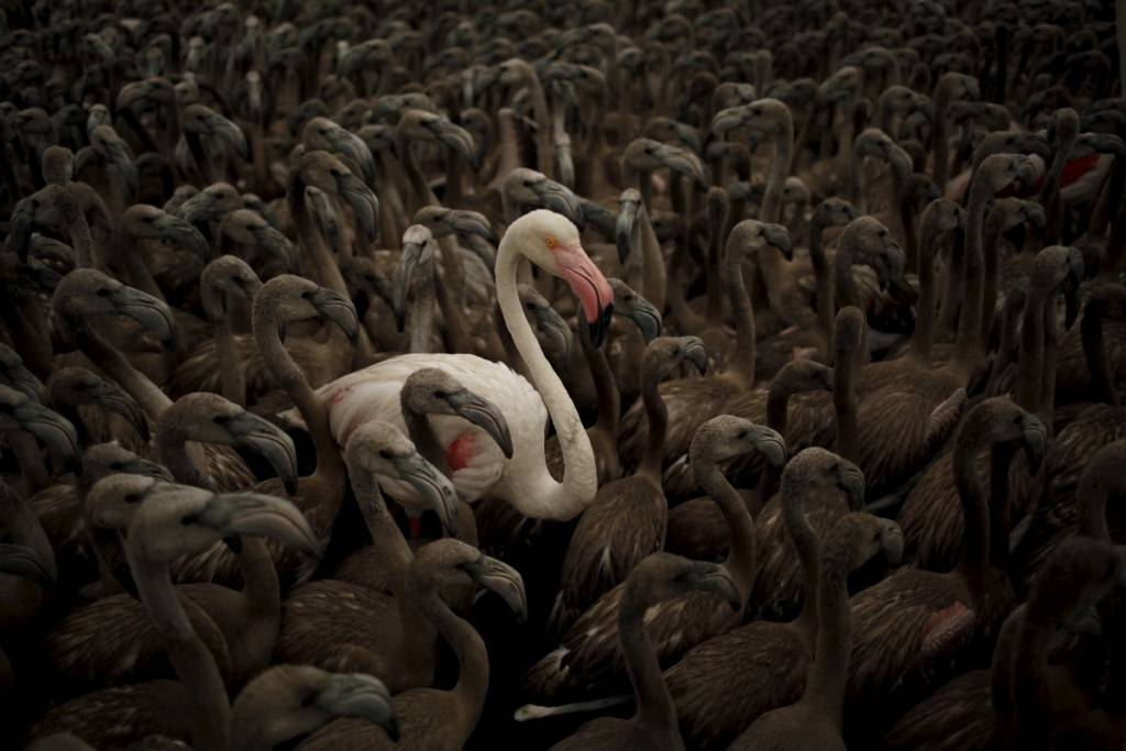 a-flamingo-and-flamingo-chicks-are-seen-in-a-corral-before-being-fitted-with-identity-rings-at-a-lagoon-in-the-fuente-de-piedra-natural-reserve-in-spain-1024x683