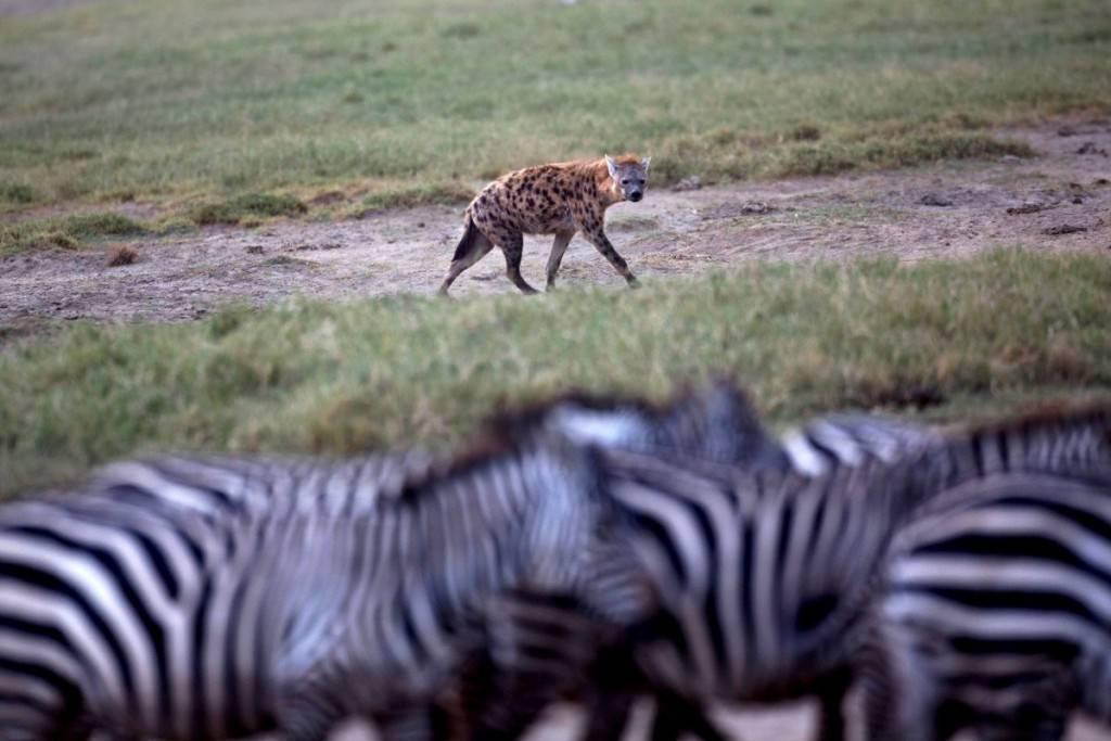 a-hyena-eyes-a-herd-of-zebra-at-lake-nakuru-national-park-kenya-1024x683
