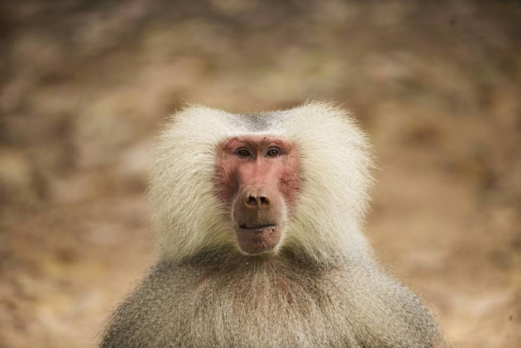 a-male-baboon-makes-eye-contact-at-the-safari-zoo-in-ramat-gan-near-tel-aviv-israel-1024x683