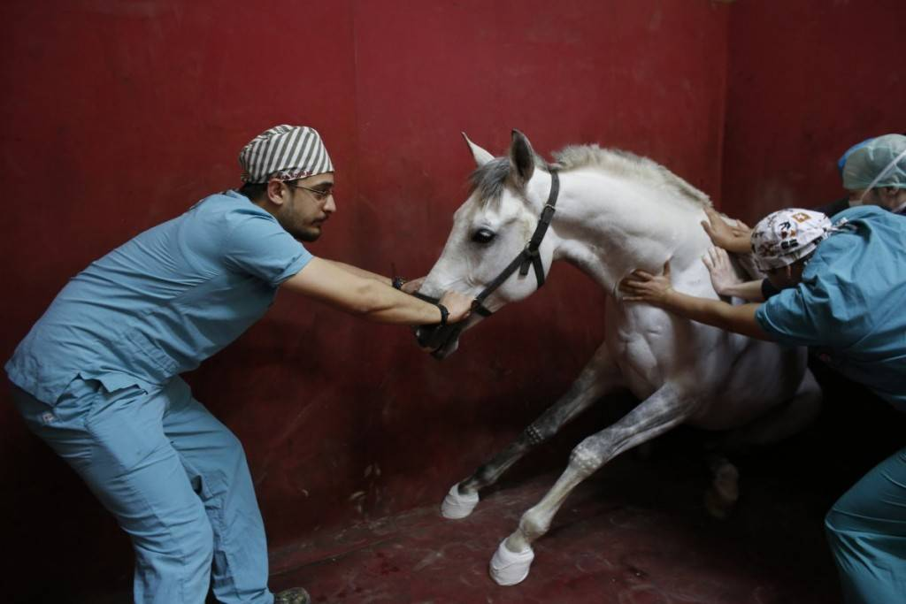 a-racehorse-begins-to-lose-consciousness-following-an-anesthetic-at-veliefendi-equine-hospital-in-istanbul-turkey-1024x683