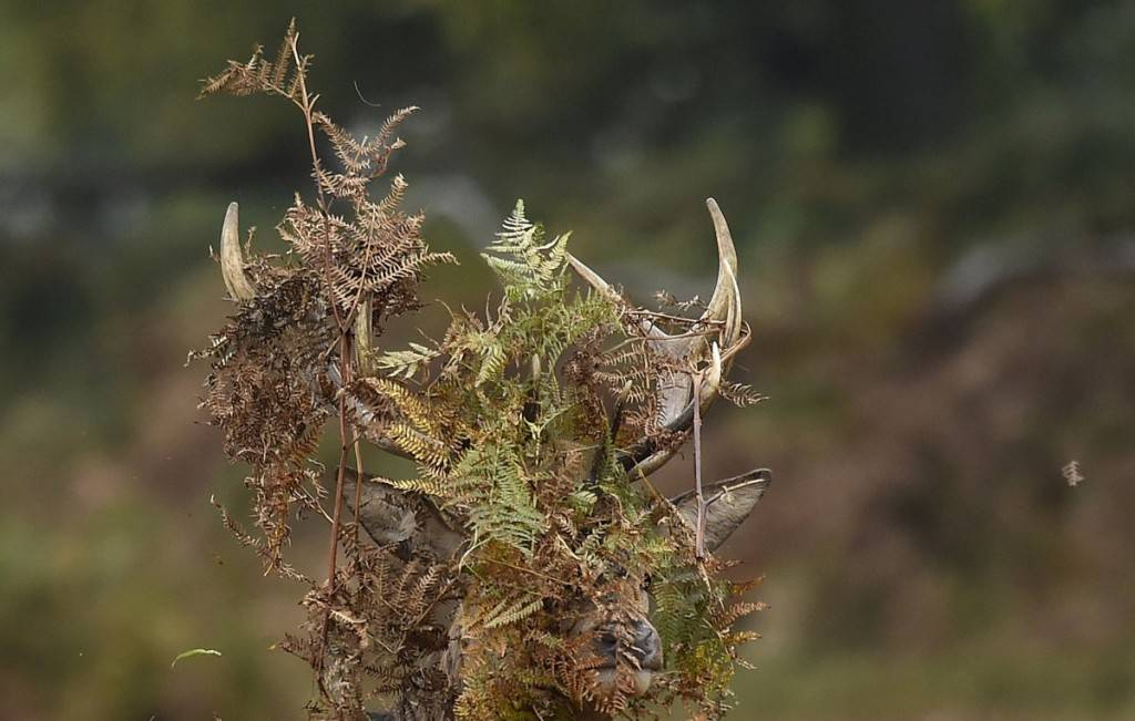 a-stag-deer-covers-his-antlers-with-bracken-in-richmond-park-in-west-london-1024x651