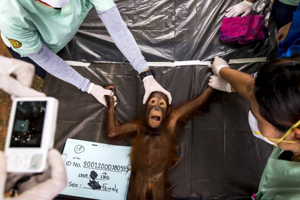 a-thai-veterinarian-takes-a-picture-of-a-two-year-old-orangutan-during-a-health-exam-at-the-kao-pratubchang-conservation-centre-in-ratchaburi-thailand-1024x683