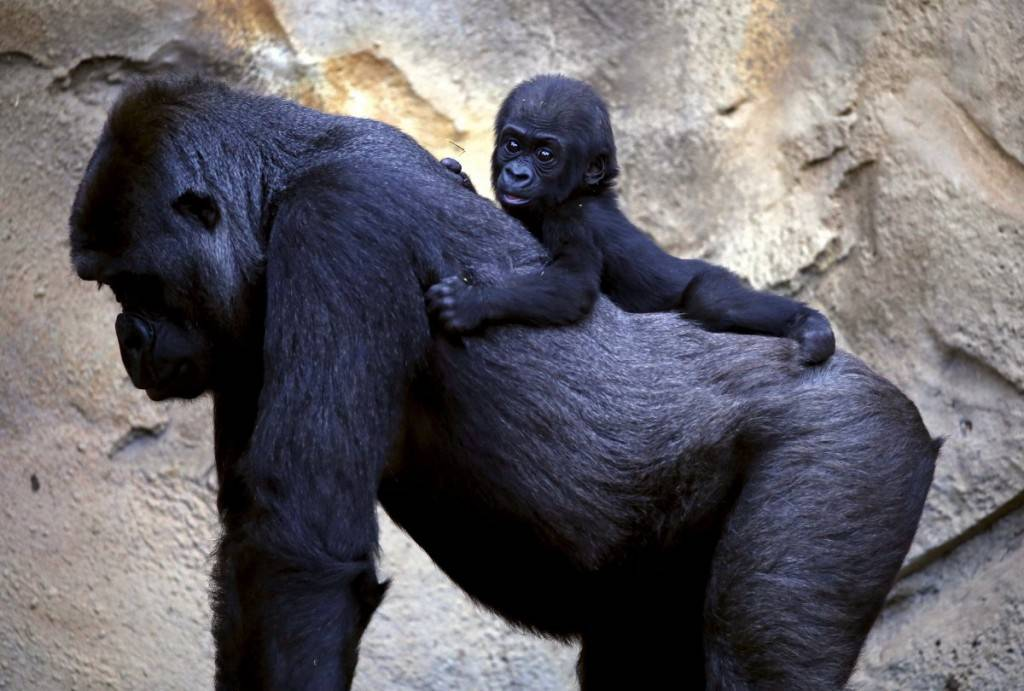 a-western-lowland-gorilla-baby-named-mjukuu-rides-on-the-back-of-its-mother-mbeli-at-taronga-zoo-in-sydney-australia-1024x691