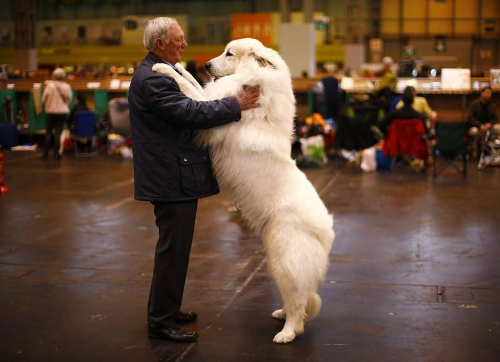 arthur-ward-stands-with-his-pyrenean-mountain-dog-cody-during-the-first-day-of-the-crufts-dog-show-in-birmingham-england-1024x742