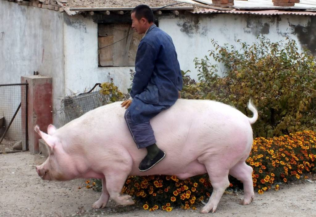 farmer-zhang-xianping-rides-his-pig-big-precious-in-zhangjiakou-china-1024x704