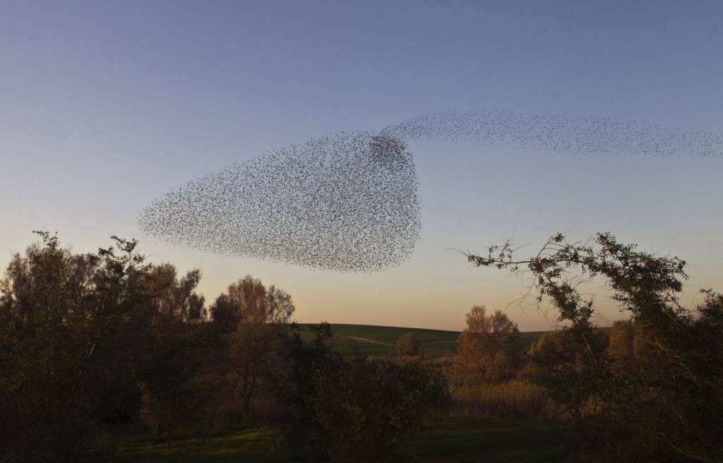 migrating-starlings-fly-in-formation-across-the-sky-near-the-southern-israeli-town-of-rahat-1024x656