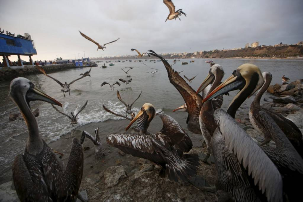 pelicans-wait-for-food-at-a-market-at-pescadores-beach-in-the-chorrillos-district-of-lima-peru-1024x683