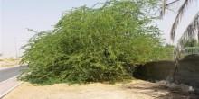 بلدية العين تحذر من مخاطر شجرة الغويف
