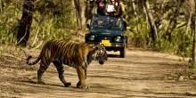 بالفيديو: سيارة  على متنها 10 سياح تتعطل وسط النمور