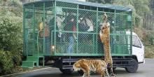 """بالصور: حيوانات مفترسة تلاحق الزوار في محمية """"Lehe Ledu"""""""