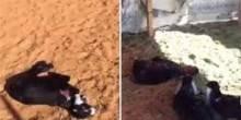 بالفيديو: عين تصيب أغنام أرسلها سعودي في فيديو لأصدقائه