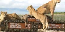 هروب الأسود من الحديقة الوطنية بنيروبي يثير قلق السكان