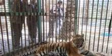 فلسطيني يعرض بيته للبيع حتى يشتري نمر أسترالي