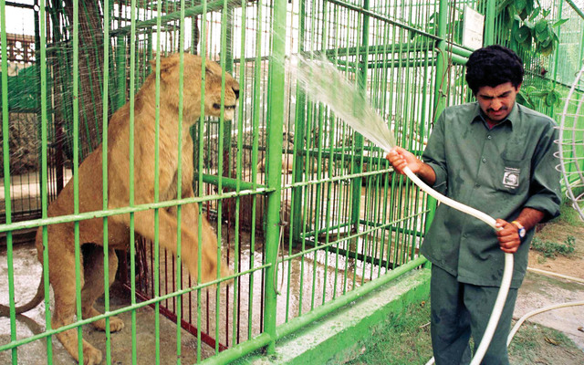 Jagu, a 10 year old lion at the Dubai Zoo, shows his pleasure after being hosed down by zoo keeper Anjad  Mohammed, 14 July 1999.  Due to soaring temperatures at this time of the year, zoo keepers have to cool down the animals with water or big fans installed outside the cages.