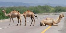 الجمال الشاردة تشكل خطرًا دائمًا على سائقي السيارات في الإمارات