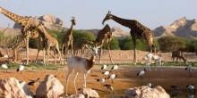 حديقة حيوانات العين تفتتح اليوم أكبر سفاري إفريقية في العالم