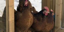 شركة غريبة من نوعها في ألمانيا تقوم بتأجير الدجاج