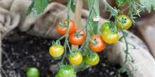 نبتة سحرية تنتج الطماطم والبطاطا للبيع في بريطانيا