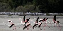 """بالصور: طيور النحام الوردي """"الفلامنغو""""  على مشارف دبي"""