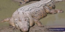 استرالية تعيش مع تمساح في بيتها منذ 60 عامًا