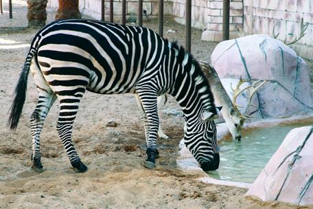 حديقة الامارات للحيوان في الباهية ابوظبي . ديسمبر 10 2014 . تصوير مجدي اسكندر