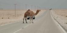 بلدية رأس الخيمة تقرر العديد من الإجراءات للحد من حوادث الجمال