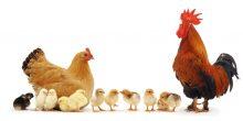 تفسير حلم الدجاج