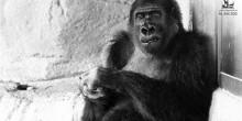 """حديقة الحيوانات في العين تعلن وفاة الغوريلا """"ليدي"""""""