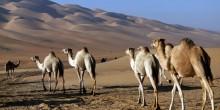 دراسة جديدة  في أبوظبي تكشف العلاقة بين مزارع الإبل وفيروس ميرس