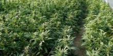 خليجي يزرع الماريجوانا في منزله بعد أن أدمنها في الولايات المتحدة الأمريكية