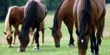 جامعة الإمارات تطلق أكبر أطلس لأمراض الخيول في العالم