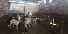سعر خروف الأضحية يصل إلى 2500 درهم قبل العيد في أبوظبي