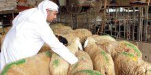 170 ألف رأس ماشية في أسواق الدولة بمناسبة عيد الإضحى