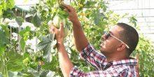 بيت بلاستيكي يضاعف إنتاج المحاصيل في الإمارات ثلاث مرات