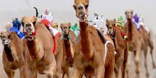 استمتع بأفضل عروض سباقات الهجن في مدينة أبوظبي