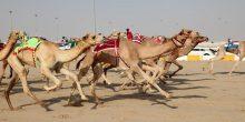 جامعة الإمارات تطور اختبارًا جديدًا لمنشطات الإبل