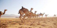 اليوم | بداية فعاليات مهرجان زايد لسباق الهجن في الأردن