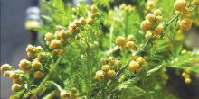 نبتة تعالج المالاريا قادرة على علاج السكري