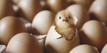 حظر استيراد الطيور الحيّة والبيض من ماليزيا وولاية أميركية