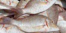 بيئة رأس الخيمة | ضبط أسماك شعري وصافي المحظور صيدها