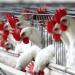 الإمارات تمنع استيراد اللحوم الداجنة من كرواتيا